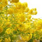 滋賀県守山市第一なぎさ公園の菜の花散策ぶらり旅