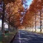 紅葉狩り第6弾・滋賀県大島市メタセコイア並木の紅葉?散策ぶらり旅