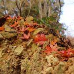 紅葉狩り第7弾・最上山公園のもみじ山紅葉巡り散策ぶらり旅