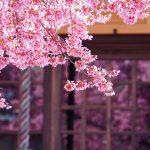 京都市長徳寺の桜を散策ぶらり旅