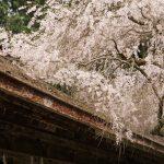 奈良県吉野山の桜2015散策ぶらり旅