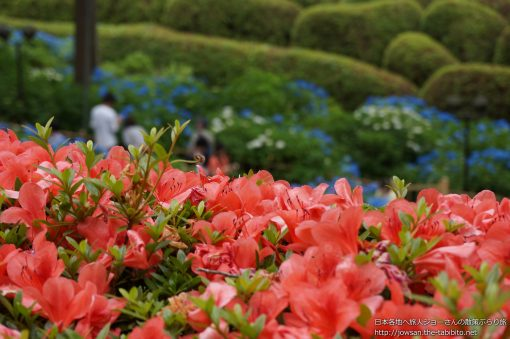 2013-06-09 京都府_三室戸寺「つつじ」