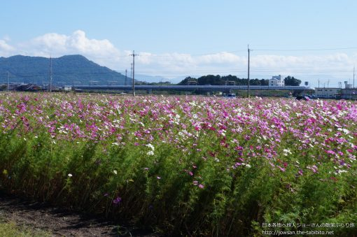 2014-10-08 滋賀県_近江八幡のコスモス