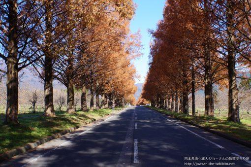 2014-12-03 滋賀県_メタセコイア並木「紅葉」