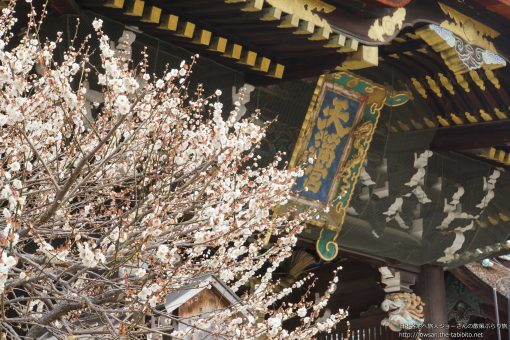 2016-02-24 京都府_北野天満宮(梅の花)