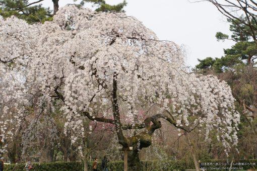 2016-03-30 京都府_近衞邸跡の枝垂れ桜