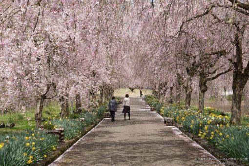 2016-04-13 京都府_夜久野の八重紅しだれ桜