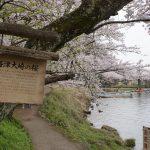 滋賀の海津大崎・桜並木を見に散策ぶらり旅
