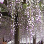 大阪の藤井寺市・葛井寺の藤の花と京都の京都市・城南宮の藤の花散策ぶらり旅