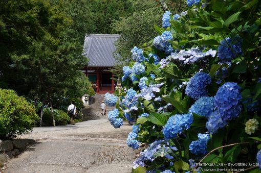 2013-06-16 奈良県_矢田寺「あじさい」