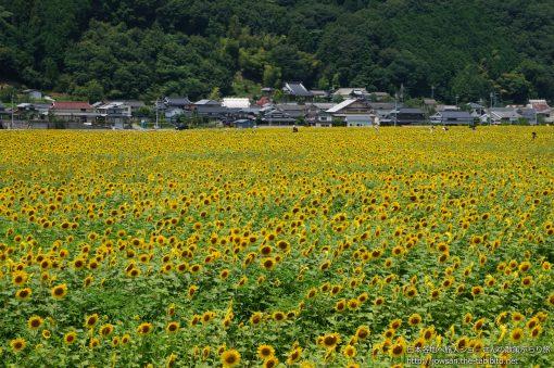 2013-07-21 兵庫県_佐用町ひまわり祭り