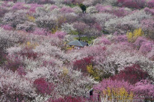 2015-03-22 三重県_いなべ市梅林公園
