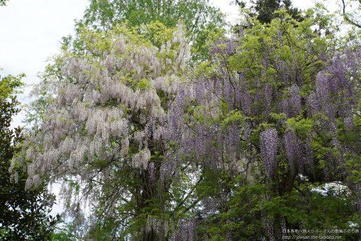 2015-04-29 奈良県_神苑萬葉植物園「藤」