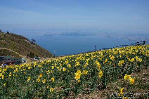 2014-05-11 滋賀県_びわ湖バレイ「水仙」