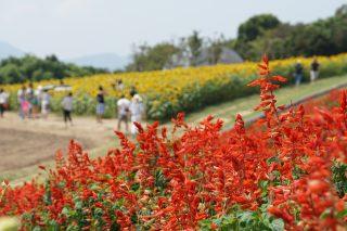 お盆休みは淡路島の兵庫県立あわじ花さじきへ散策ぶらり旅