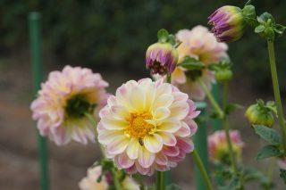 滋賀の「花の郷 日野ダリア園」へ散策ぶらり旅