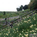 花の島、淡路島に純白のじゅうたんが広がる日本三大群生地「灘黒岩水仙郷」へ散策ぶらり旅