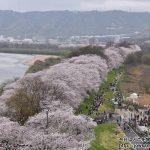 一眼レフカメラデビュー!NikonのD5600で京都府八幡市「淀川河川公園 背割堤地区」へ桜を見に散策ぶらり旅
