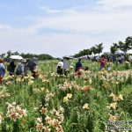 5周年目・3度目の大阪湾に咲く、250万輪のゆり大阪舞洲ゆり園へ散策ぶらり旅